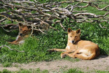 canid: Dingo Canis lupus dingo, lying on grass with branches in the background Stock Photo