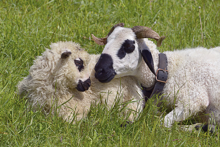 Closeup of two sheep and Thones Marthod lying in grass Stock Photo