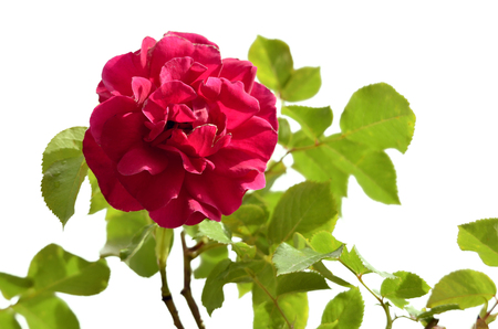 Single red rose (Rosa) flower with leaves, isolated on white background