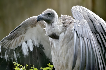 scavenger: Closeup white-backed vulture (Gyps africanus) with open wings