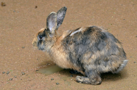 lagomorpha: Brown and black rabbit (Oryctolagus cuniculus) on the ground viewed of profile Stock Photo