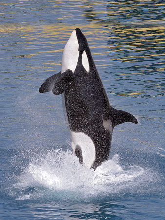 Killer whale (Orcinus orca) jumping out of blue water and seen from profile