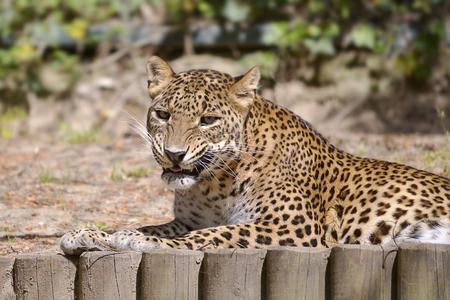 Leopard (Panthera pardus) lying on ground