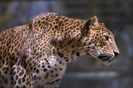 Closeup of Sri Lanka leopard (Panthera pardus kotiya) view of profile