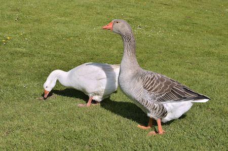 Two geese (Anser anser domesticus), one white and one gray, walking on grass