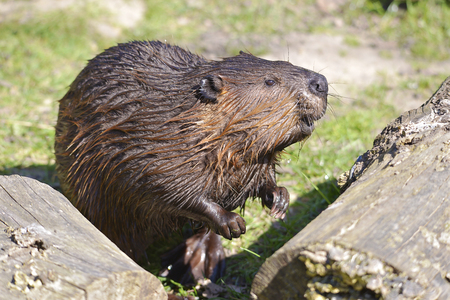 Closeup Beaver nord-américain (Castor canadensis) Banque d'images - 77968758