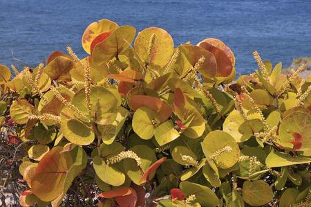 Arbusto do gênero coccoloba em floração em Tenerife nas Ilhas Canárias espanholas Foto de archivo - 78307171