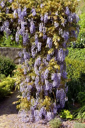 Closeup of blue Wisteria sinensis flowers in garden