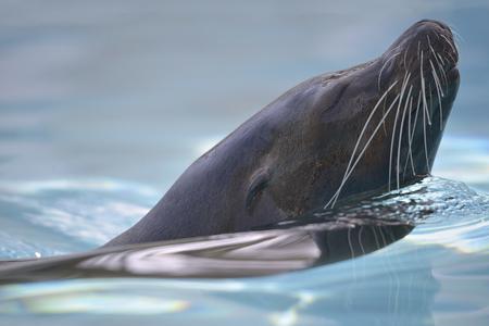 Closeup California sea lion (Zalophus californianus) swimming in blue water Stock Photo