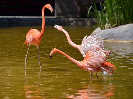 Three Carribean flamingos (Phoenicopterus ruber) in water and squabbling