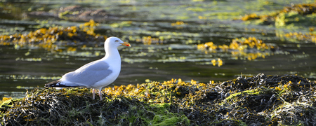 wrack: Panoramic photo of herring gull (Larus argentatus) on Brittany
