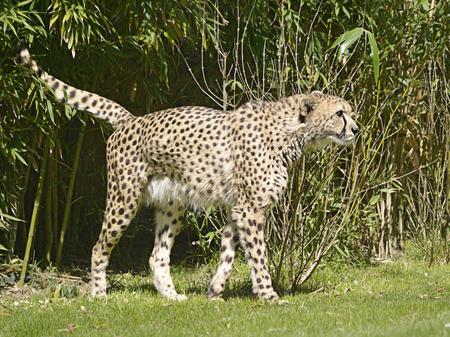jubatus: African Cheetah (Acinonyx jubatus) Stock Photo