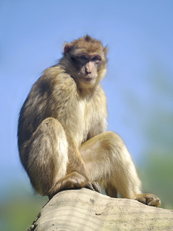 barbary ape: Barbary macaque or barbary ape golden magot (Macaca sylvanus) sitting on the blue sky background