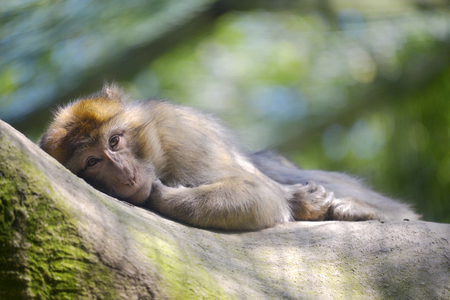 Barbary macaque or barbary ape gold magot (Macaca sylvanus) lying Stock Photo
