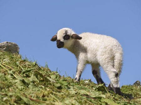 Juvenile sheep of Thones and Martha on grass on blue sky background