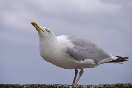 Closeup herring gull (Larus argentatus) perched on a wall and looking up in Brittany in France Stock Photo