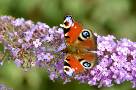 wingspan: European Peacock butterfly (Inachis io) eating on summer lilac (Buddleia) Stock Photo