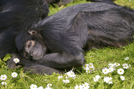 Black-headed spider monkey (Ateles fusciceps) lying on the grass