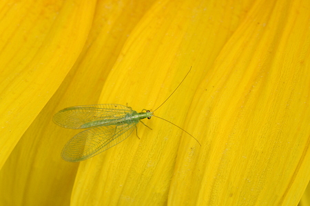 Green lacewings (Chrysoperla carnea) on yellow petal of sunflower from above