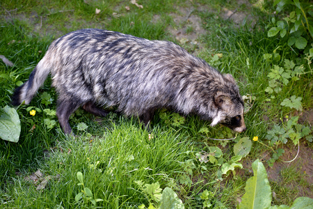 Raccoon dog (Nyctereutes procyonoides) on grass seen from above Stock Photo