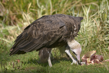 Brown vulture (Neophron monachus) on grass and piece of meat