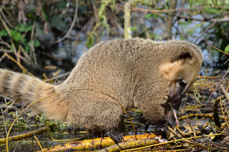 South American Coati, or Ring-tailed Coati (Nasua nasua) View of profile and eating a turtle