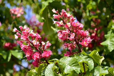 Closeup of two red flowers of buckeye (Aesculus genus) among the leaves Stock Photo
