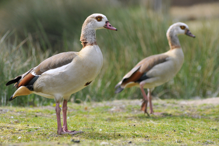 alopochen: Closeup of Egyptian Geese (Alopochen aegyptiacus) on grass view of profile