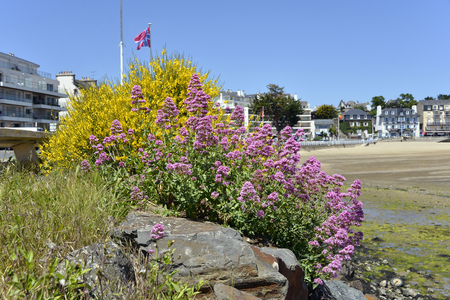 Red valerian and yellow broom at Saint-Quay-Portrieux, commune in the C?tes-dArmor department of Brittany in northwestern France.
