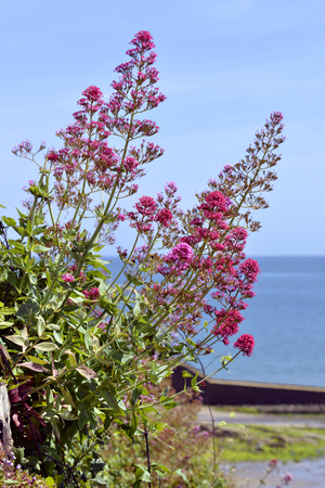 Red valerian flowers (Centranthus ruber) at the edge of the water in Brittany Stock Photo