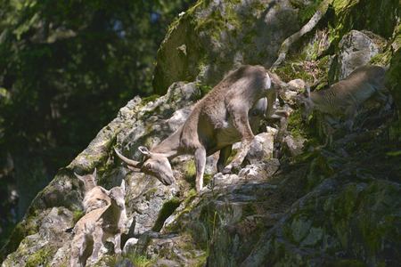 Female Alpine ibex climbing with her young in the mountains of the Alps in Chamonix-Mont-Blanc in France