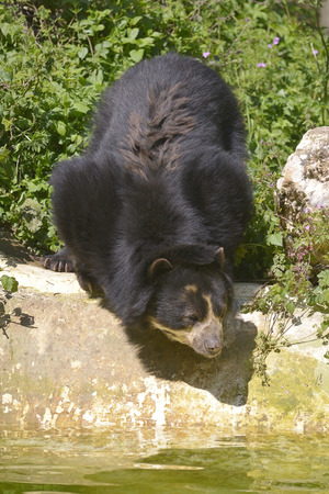 Andean bear (Tremarctos ornatus) near pond among vegetation, also known as the spectacled bear
