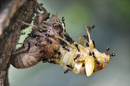 Profile macro of cicada (Lyristes plebeja) emerging from its exuvia Stock Photo