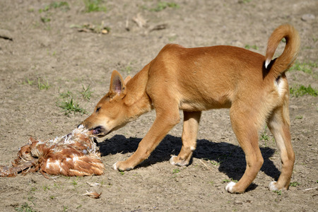 Young dingo, Canis lupus dingo, eating poultry Stock Photo