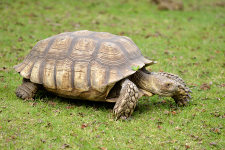 Closeup of African Spurred Tortoise (Centrochelys sulcata)