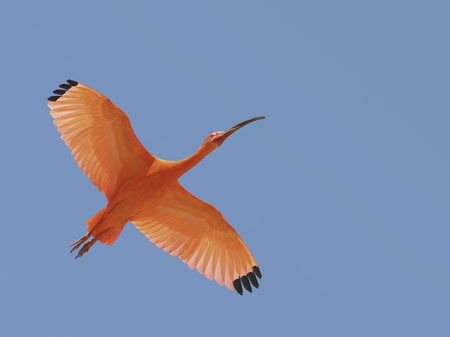 Scarlet ibis (Eudocimus ruber) from the sky background Stock Photo