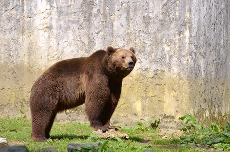 Closeup of brown bear (Ursus arctos) on a stone
