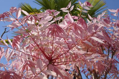 Pink leaves of Cedrela sinensis or Toona sinensis