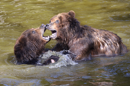 Two grizzlies (Ursus arctos horribilis) playing in the water