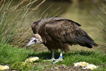 Brown vulture (Neophron monachus) on a grass among food chicks