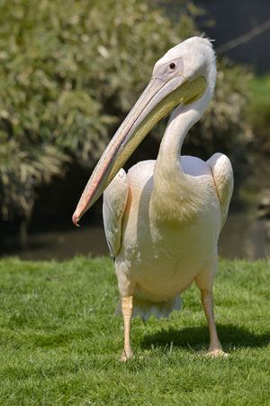 White pelican (Pelecanus onocrotalus) standing on grass seen from front
