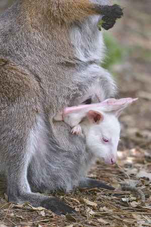 Red-necked wallaby of Bennett (Macropus rufogriseus) and its albino joey in the pocket