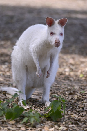 Albino Red-walled wallaby of Bennett (Macropus rufogriseus) seen from front