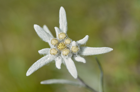 asteraceae: Macro of edelweiss flower (Leontopodium alpinum) in the French Alps at La Plagne, Savoie department.