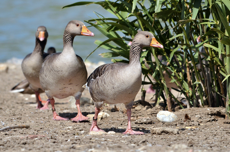 Group of greylag geese (Anser anser domesticus) walking in single file
