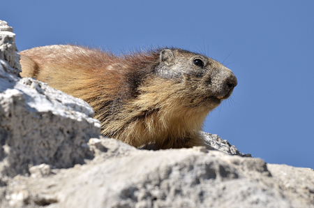 hate: Closeup Alpine marmot (Marmota marmota) on rock on blue sky background, in the French Alps, Savoie department at La Plagne Stock Photo