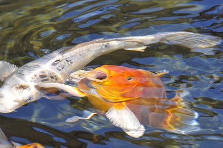 Closeup orange koi carp (Cyprinus) to the surface of the water