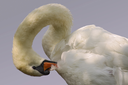 Mute swan (Cygnus olor) cleaning the feathers on gray background