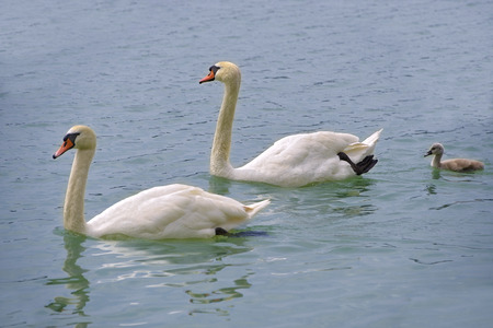 Swans (Cygnus olor) with one nestling Stock Photo