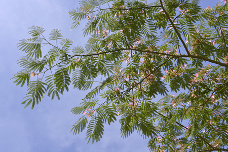 Persian silk tree or pink silk blooming tree (Albizia julibrissin) on the sky background